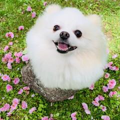 リフレッシュタイム/ポメラニアン/愛犬 新緑の季節になりました😊  お姫ちゃんと…