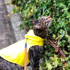 散歩/LIMIAペット同好会/フォロー大歓迎/ペット/ペット仲間募集/猫/... くんくん🌿 雨の匂いがする☂️