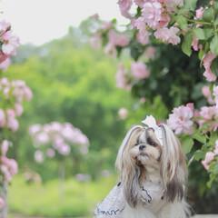 shihtzu/モデル犬/鼻ぺちゃ/オシャレ/女の子ママ/あずき/... 大好きな ぐんまフラワーパーク💕 年パス…