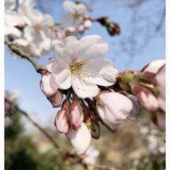 風景 我が家のソメイヨシノが花を咲かせました(…