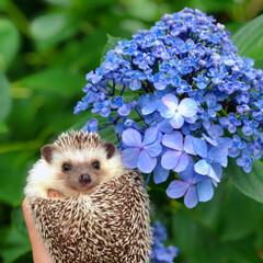 Flower/花/hedgehoglife/hedgehog/はりねずみ/ハリネズミのいる暮らし/... 久留米のあじさい祭りへ行きました🚗  と…