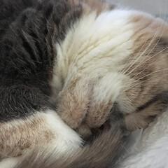 ねこ/猫/スコティッシュフォールド/立ち耳スコ/ペット仲間募集/LIMIAペット同好会/... 最近、寒いにゃ💤