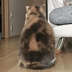スコ/スコティッシュフォールド/ねこ/猫/にゃんこ同好会/ペット仲間募集/... かわいい後ろ姿❤️