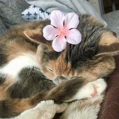 春の一枚/ねこ/猫/ペット仲間募集/にゃんこ同好会/スコティッシュフォールド/... ニュースで開花したの見たにゃ。 ムムにも…