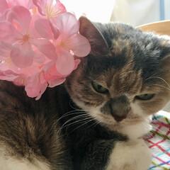 猫/スコティッシュフォールド/LIMIAペット同好会/にゃんこ同好会/ペット仲間募集/春/... 早く春にならないかなぁ 花よりカリカリご…