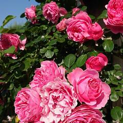 令和元年フォト投稿キャンペーン/令和の一枚/至福のひととき/おでかけ/風景/暮らし 薔薇が満開で凄く綺麗でした🌹(3枚目)