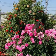 令和元年フォト投稿キャンペーン/令和の一枚/至福のひととき/おでかけ/風景/暮らし 薔薇が満開で凄く綺麗でした🌹(6枚目)