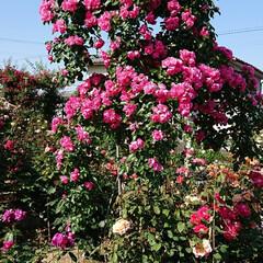 令和元年フォト投稿キャンペーン/令和の一枚/至福のひととき/おでかけ/風景/暮らし 薔薇が満開で凄く綺麗でした🌹(10枚目)