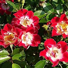 令和元年フォト投稿キャンペーン/令和の一枚/至福のひととき/おでかけ/風景/暮らし 薔薇が満開で凄く綺麗でした🌹(8枚目)