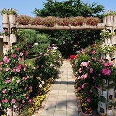 令和元年フォト投稿キャンペーン/令和の一枚/至福のひととき/おでかけ/風景/暮らし 薔薇が満開で凄く綺麗でした🌹(7枚目)