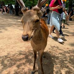 鹿/姪オススメ柿バター/大仏プリン/奈良観光/奈良公園/奈良スイーツ/... 奈良旅行 (2枚目)