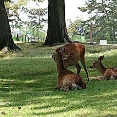 鹿/姪オススメ柿バター/大仏プリン/奈良観光/奈良公園/奈良スイーツ/... 奈良旅行 (5枚目)