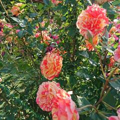 令和元年フォト投稿キャンペーン/令和の一枚/至福のひととき/おでかけ/風景/暮らし 薔薇が満開で凄く綺麗でした🌹(5枚目)