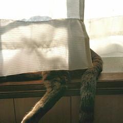 日向ぼっこ大好き/LIMIAペット同好会/にゃんこ同好会/至福のひととき/暮らし 出窓で日向ぼっこ🌞