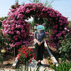 令和元年フォト投稿キャンペーン/令和の一枚/至福のひととき/おでかけ/風景/暮らし 薔薇が満開で凄く綺麗でした🌹(9枚目)