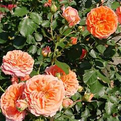 令和元年フォト投稿キャンペーン/令和の一枚/至福のひととき/おでかけ/風景/暮らし 薔薇が満開で凄く綺麗でした🌹(4枚目)