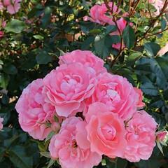 令和元年フォト投稿キャンペーン/令和の一枚/至福のひととき/おでかけ/風景/暮らし 薔薇が満開で凄く綺麗でした🌹(1枚目)