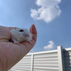 ハムスター大好き/ジャンガリアンハムスター/ハムスター/うちの子ベストショット たまには外の空気を吸ってみるのもいいね✩…