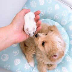 パールホワイト/ハーフ犬/チワプー/動物/わんこ/いぬのいる暮らし/... 初めましてのご挨拶♡︎ʾʾ