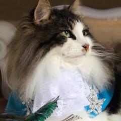ノルウェージャンフォレストキャット/norwegianforestcat/お誕生日/猫派/令和の一枚/フォロー大歓迎/... 本日7月29日、 Carreくん3歳お誕…(2枚目)