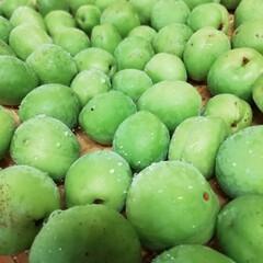 梅酒作り/PlumWine/梅シロップ/PlumSyrup/梅 庭の梅の木から収穫した青梅で 初めての梅…