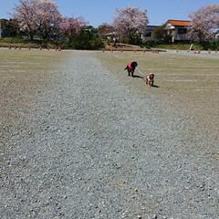 おでかけワンショット 伊勢神宮の河原で犬たちお散歩😆桜🌸も綺麗…
