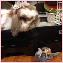 ホーランドロップ/うさぎ/ウサギ/サクラ/春の一枚 ぽぷりだよ。