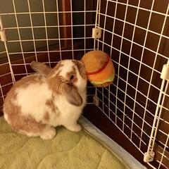 ホーランドロップ/うちの子ベストショット/うさぎ/ウサギ ぽぷりだよ。 * はんばーがー うわえて…