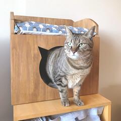 猫/猫ハウス/猫ソファ/猫インテリア/ハンドメイド/DIY 「猫のハウス&ソファ」からマルちゃんが出…