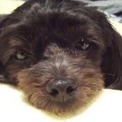 犬がいる生活/犬好き/犬と暮らす ボク、眠い💤