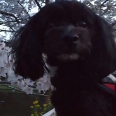 犬の散歩/犬と暮らす 散歩の途中で🌸僕、真っ黒で顔がわかるかな…