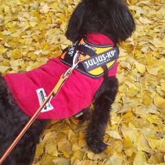 犬好き/犬の散歩/犬と暮らす 散歩の途中で銀杏の葉のじゅうたんの上でパ…(2枚目)