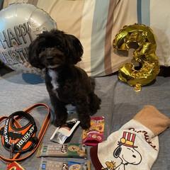 犬と暮らす/犬服/犬/誕生日ケーキ 今日は、ごんべ3歳の誕生日🎁🎂🐶おめでと…(1枚目)