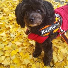 犬好き/犬の散歩/犬と暮らす 散歩の途中で銀杏の葉のじゅうたんの上でパ…