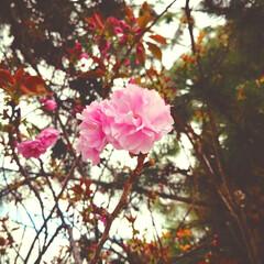 お花見/自然が感じれられる/花のある暮らし/桜の名所/SAKURA/おでかけ/... 遅咲きの桜 可愛い型になるの楽しみ