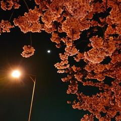 河津桜/夜桜/サクラ/春の一枚 街の中の夜桜に惹かれて🌸 月と街灯が優し…
