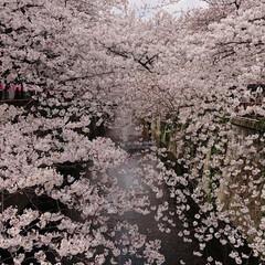 桜満開/桜祭り/目黒川/春の一枚 🌸桜満開 今にも散り花びら舞いそう