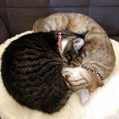 猫好き/愛猫家/LIMIAペット同好会/フォロー大歓迎/はじめてフォト投稿/ペット/... はじめての投稿です! キジ白のこまち3才…
