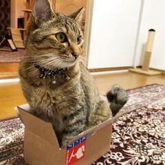 箱好き猫/ダンボール/箱入り猫/箱好き/キジトラ/猫/... ・ ボクはこのハコの中で ねころびたい!…