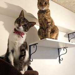 手作り/ニャンズ/キャットタワー/キャットウォーク/キャットウォークDIY/愛猫家/... キャットウォークにて 揃って可愛い顔をし…