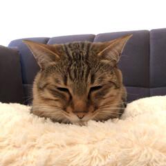 お気に入り/トラネコ/キジトラ/寝顔/愛猫家/LIMIAペット同好会/... おはようございます♪ てつろーはクッショ…