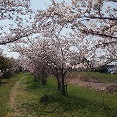 花見/岐阜県/桜並木/桜/穴場/スポット/... 自宅近くの大学横の桜並木♪毎年行ってます…