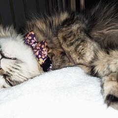 寝顔/ネコ/猫/ねこ/マンチカン/添い寝/... いつも一緒に寝る甘えん坊さんの無防備な寝…