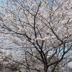 桜/満開/岐阜県/お散歩/おでかけ/おでかけワンショット 満開でした!お散歩♪実は今年2度目(^^;