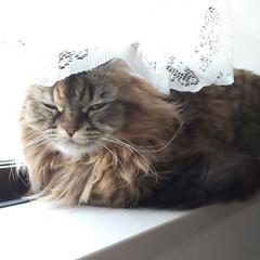 猫/小窓/ひなたぼっこ/おやすみショット/メス 自宅のリビングの小窓で眠る愛猫(о´∀`…