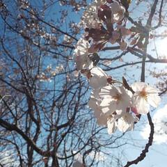 桜/春の一枚/景色/綺麗/お花見/穴場 まだ満開ではなかったけど毎年行ってる穴場…