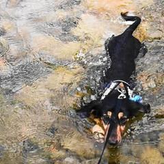 モンブラン🐕/ミニチュアダックスフンド/犬/短足部/犬のいる暮らし/わんこ/... 「ボク、泳げたょ!」ワンワン!<(`^…