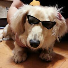 犬カフェCOCOMO/サングラス/クリン/おすすめアイテム/フォロー大歓迎/LIMIAファンクラブ/... 「(番外編)クリン🐶ォレ様兄貴だ!」Ze…(1枚目)