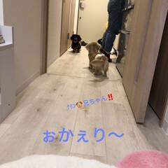 ペットのいる暮らし/ぺット/カニンヘンダックスフンド/犬/犬のいる暮らし/短足部/... 【夏恋姉ちゃん、クリン🐶兄ちゃん、ぉ帰り…
