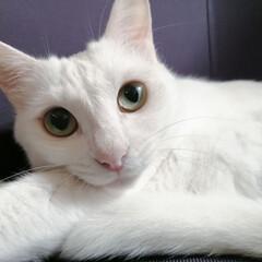 猫好き/猫との暮らし/白ねこ同好会/猫派/LIMIAペット同好会/にゃんこ同好会 親バカにゃんこかわゆ〜😍